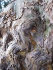 Waves of the Crowhurst Yew