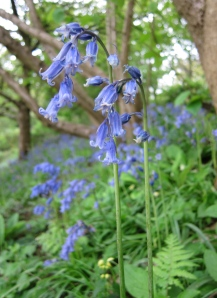 A Bluebell Moment at Winkworth Arboretum