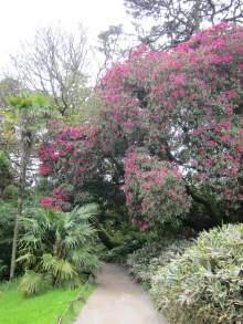 Super tall Rhododendrons