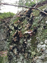 Large lichens