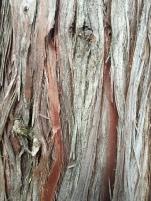 Atlantic white cedar bark (Chamaecyparis thyoides)